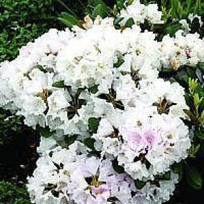 'Silberwolke' (Rhododendron 'Silberwolke') - Buske i 5 liters potte 30-40 cm