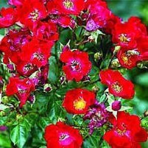Bunddækkende rose (Rosa 'Bassino') - Bunddækkerose i 4 l potte