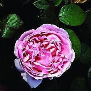 Engelsk rose (Rosa 'Brother Cadfael'  - Barrodsrose. A-kval. Sælges kun i bundter a 5 stk