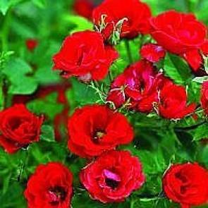 Bunddækkende rose (Rosa 'Charming Cover') - Towne- & Countryrose i 4 l potte