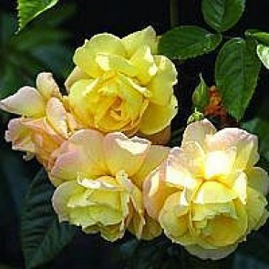 Slyngrose (Rosa 'Chinatown') - Barrodsrose A-kvalitet - Sælges kun i bundter á 5 stk