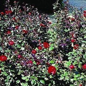 Rosa 'Christian IV' (Rosa 'Christian IV' ®) - Buketrose i 4 l potte
