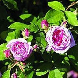 Portlandrose (Rosa 'Comte De Chambord' ®) - Barrodsrose A-kvalitet - Sælges kun i bundter á 5 stk