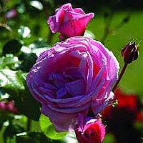 Slyngrose (Rosa 'Coral Dawn') - Slyngrose i 4 l potte