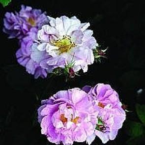 Buskrose (Rosa 'Fru Dagmar Hastrup') - Buskrose i 4 l potte