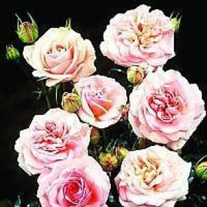 Buketrose (Rosa 'Dronning Margrethe' ®  - Barrodsrose A-kvalitet - Sælges kun i bundter á 5 stk