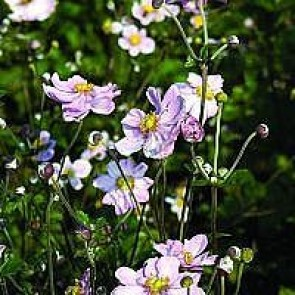 Høstanemone (Anemone jap. 'Königin Charlotte') - Staude i 1 liter potte
