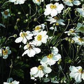 Hvid høstanemone (Anemone japonica 'Honorine Jobert') - Staude i 1 liter potte