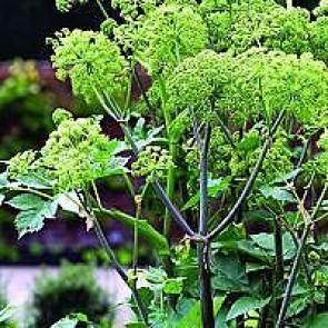 Kvan (Angelica archangelica) - Staude i 10 x 10 cm potte Sælges kun i pakke á 3 stk.