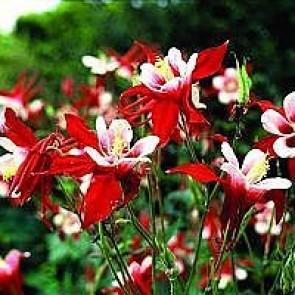Hybrid akeleje (Aquilegia caerulea 'Crimson Star') - Staude i 10 x 10 cm potte - Sælges kun i pakke á 3 stk.