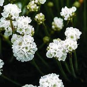 Engelsk græs (Armeria maritima 'Arvi') - Staude i 10 x 10 cm potte - Sælges kun i pakke á 3 stk.