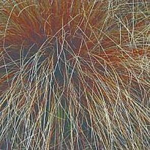 Brun star (Carex buchananii) - Græs i 1 liter potte - Sælges kun i pakke á 3 stk.
