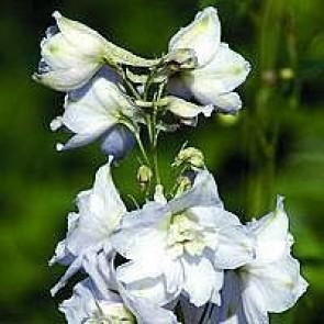 Ridderspore (Delphinium pacific 'Galahad') - Staude i 1 liter potte