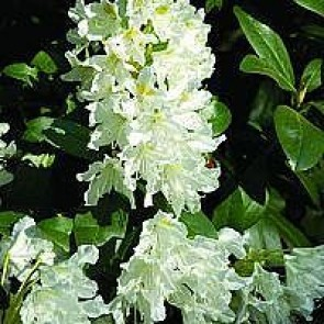 'Cunninghams White' (Rhododendron 'Cunninghams White') - Buske i 5 liters potte 30-40 cm