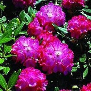 'Fantastica' (Rhododendron 'Fantastica') - Buske i 5 liters potte 30-40 cm