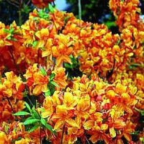 Azalea 'Gibraltar' (Rhododendron 'Gibraltar') - Buske i 5 liters potte 40-50 cm