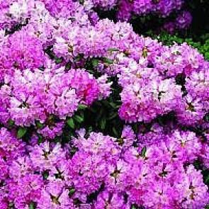 'Kalinka' (Rhododendron 'Kalinka') - Buske i 5 liters potte 30-40 cm