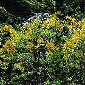 Azalea  Luteum (Rhododendron luteum) - Buske i 5 liters potte 40-50 cm
