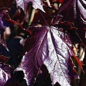 Rødbladet spidsløn (Acer platanoides 'Royal Red') - Træ i potte 175-200 cm