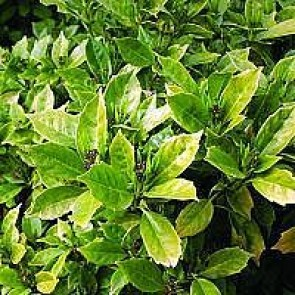 Aucuba (Aucuba japonica 'Rozannie') - CO buske