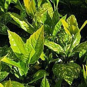 Aucuba (Aucuba japonica 'Variegata') - Busk i 3,5 liter potte 30-40 cm