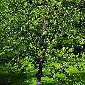 Himalaya-birk (Betula utilis) - Træ i potte 175-200 cm