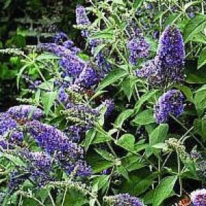Sommerfuglebusk (Buddleja davidii 'Lochinch') - Buske i 3½ liters potte