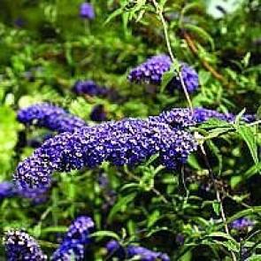 Sommerfuglebusk (Buddleja davidii 'Nanho Blue') - Buske i 3½ liters potte