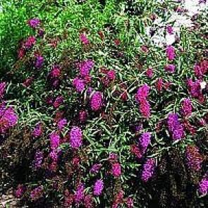 Sommerfuglebusk (Buddleja davidii 'Nanho Purple') - Buske i 3½ liters potte
