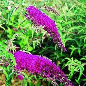Sommerfuglebusk (Buddleja davidii 'Royal Red') - Buske i 3½ liters potte