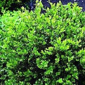 Buksbom. Stedsegrøn busk til have, til klipning og til potter.