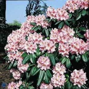 'Scintillation' (Rhododendron 'Scintillation') - Buske i 5 liters potte 30-40 cm