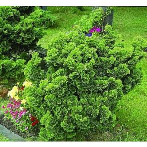 Solcypres (Chamaecyparis obtusa 'Nana Gracilis') - 1 liter potte 10-12 cm