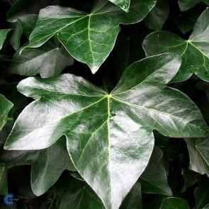 Storbladet vedbend (Hedera hibernica 'Hestor') - CO 175-200 cm.
