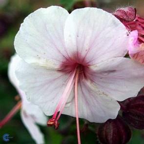 Storkenæb (Geranium macrorrhizum 'Spessart') - Staude i 10 x 10 cm potte - Sælges kun i pakke á 3 stk.