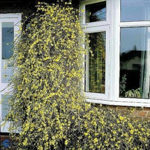 Vinterjasmin (Jasminum nudiflorum) - 2 liter potte 60 cm