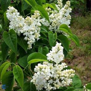 Ægte syren (Syringa vulgaris 'Mme Lemoine') - Co 6,5 ltr. buske