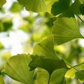 Tempeltræ (Ginkgo biloba) - Træ i potte 150 - 175 cm.