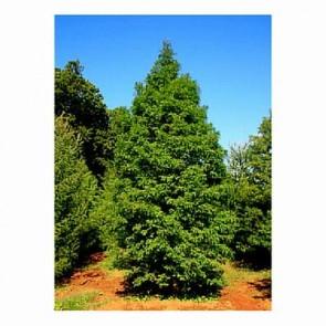 Vandgran (Metasequoia glyptostroboides) - CO/MK 150-175 cm