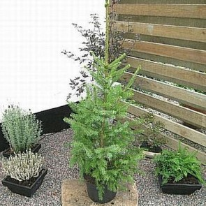 Serbisk gran (Picea omorika) - Med jordklump 125-150 cm