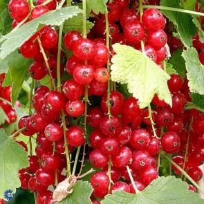 Ribs 'Jonkheer van tets' (Ribes rubrum 'Jonkheer van tets') - Buske i 5 liters potte