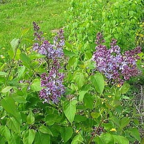 Syren (Syringa vulgaris) - Barrods 50-80 cm. 3 års