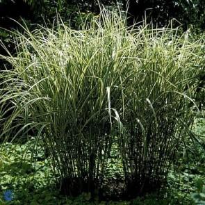 Hvidstribet Elefantgræs (Miscanthus sinensis 'Variegatus') - Græs i 3 liter potte