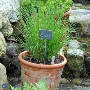 Purløg (Allium Schoenoprasum) - P 10,5