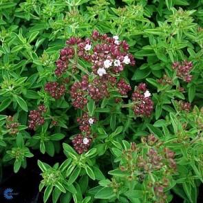 Oregano / Almindelig Merian (Oreganum vulgare) - 2 l CO