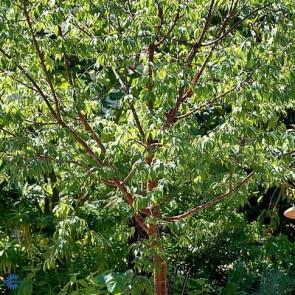 Tibetansk kirsebær (Prunus serrula) - Træ i potte 150-175 cm