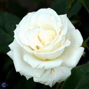 Storblomstret rose (Rosa 'Pascali') - Barrodsrose - A-kval. Sælges kun i bundter a 5 stk