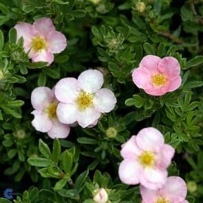 Buskpotentil (Potentilla fructicosa 'Lovely Pink')