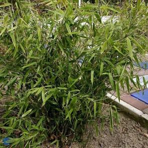 Bambus (Fargesia murielae 'Jumbo') - Co 100-120