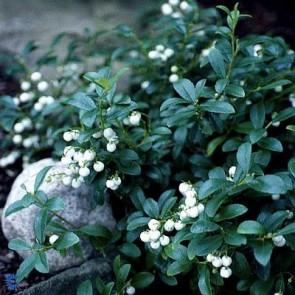 Bjerg-Te (Gaultheria 'Miqueliana') - CO